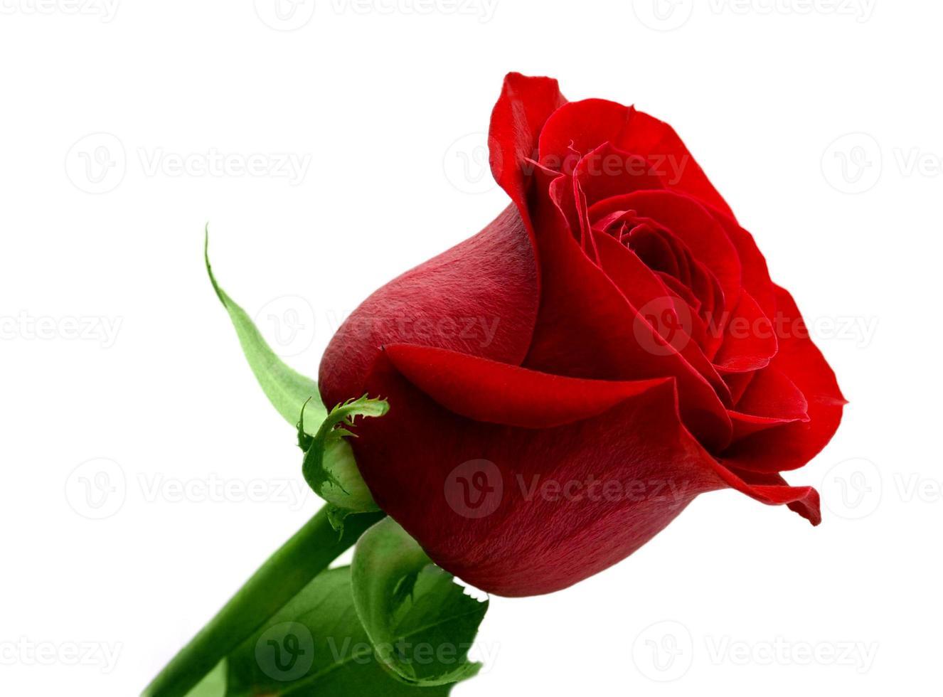 röda rosor grönt blad foto