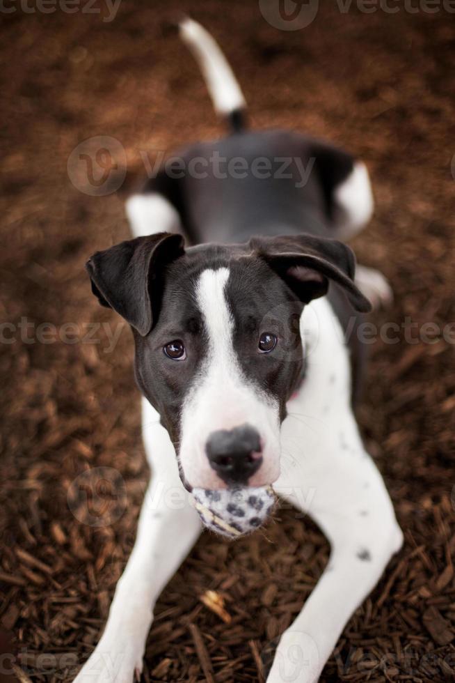 svartvit hund med boll i munnen foto