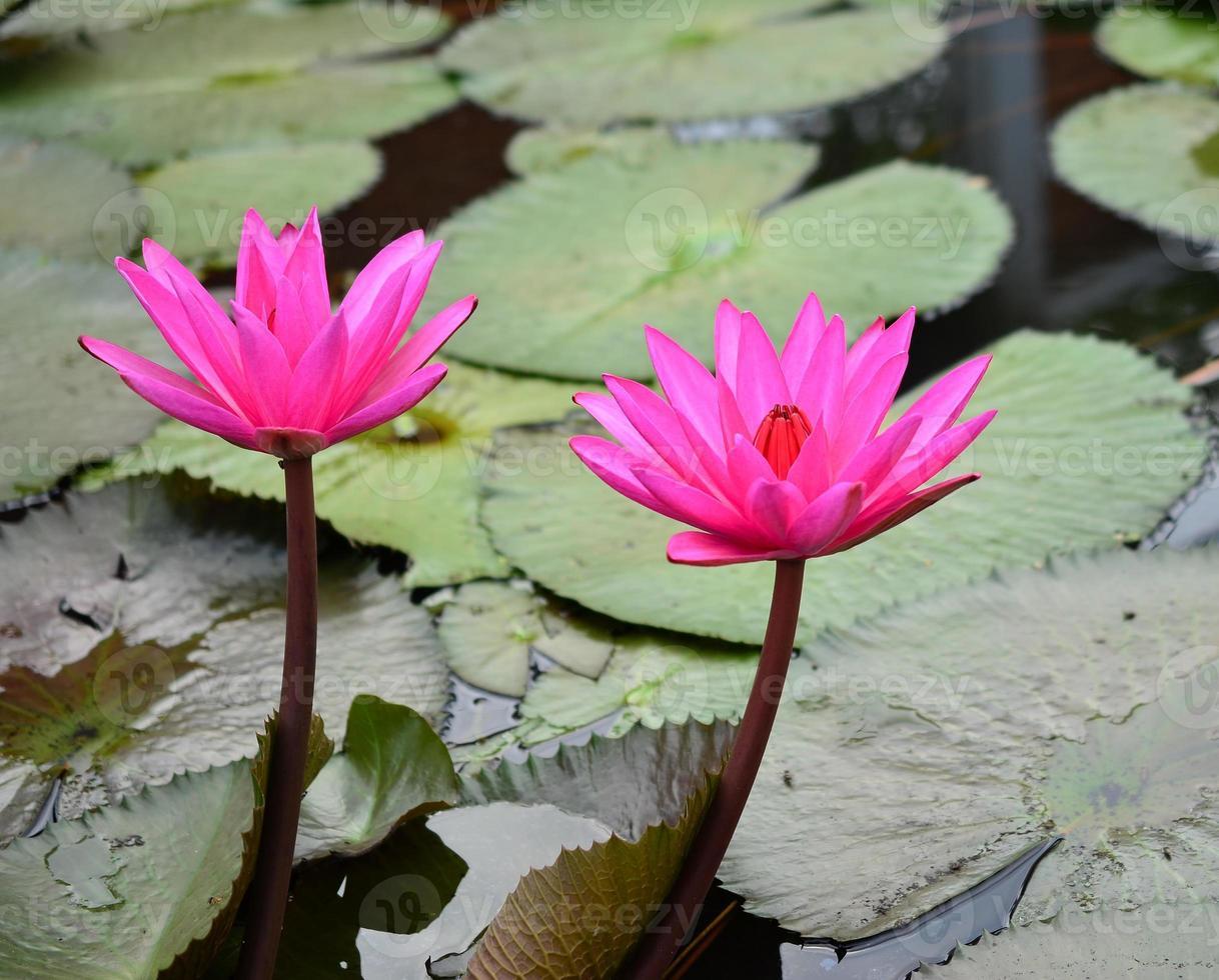 rosa lotusblomma vacker lotus. foto