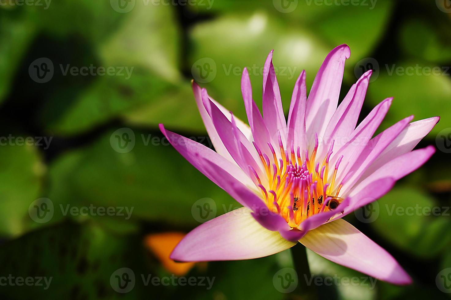 lotus med fungerande bi foto