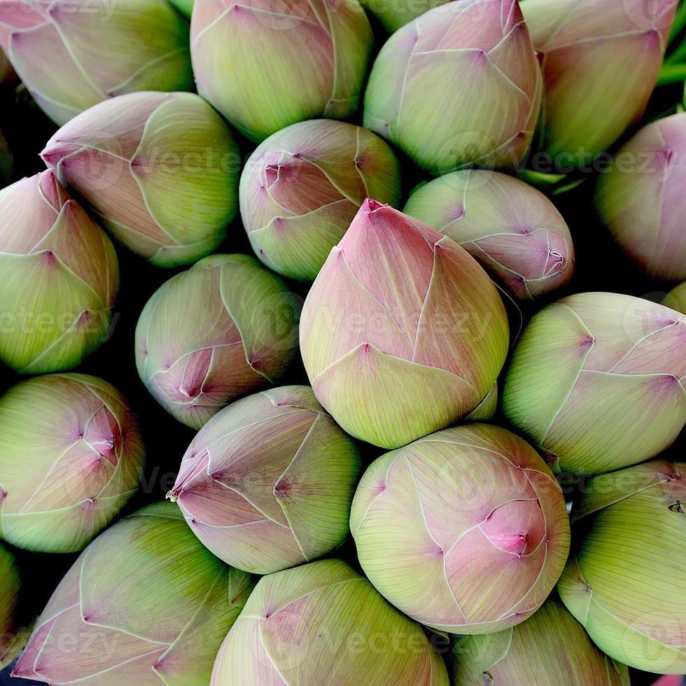 rosa lotus knopp bakgrund foto