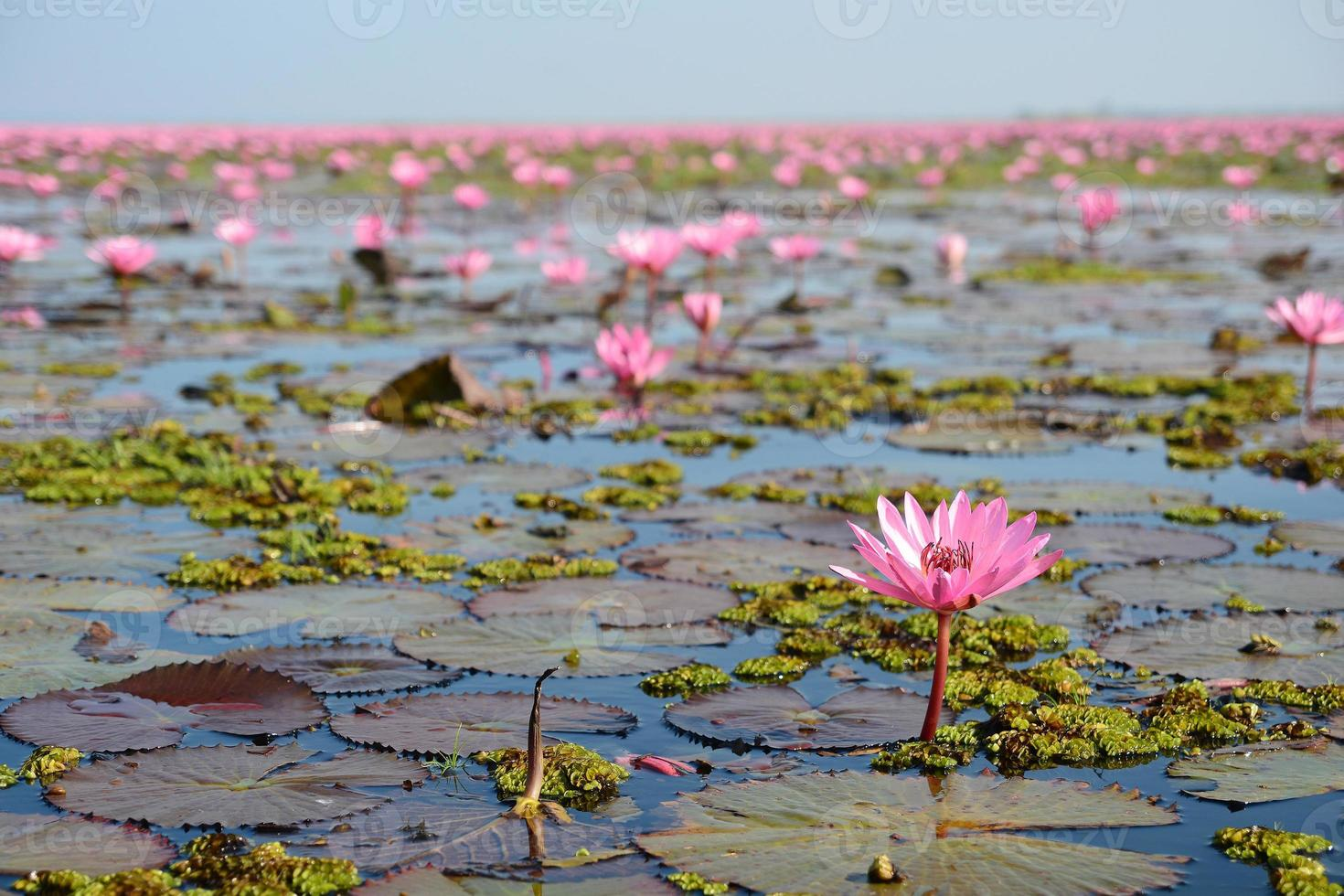 rosa lotus i sjön foto