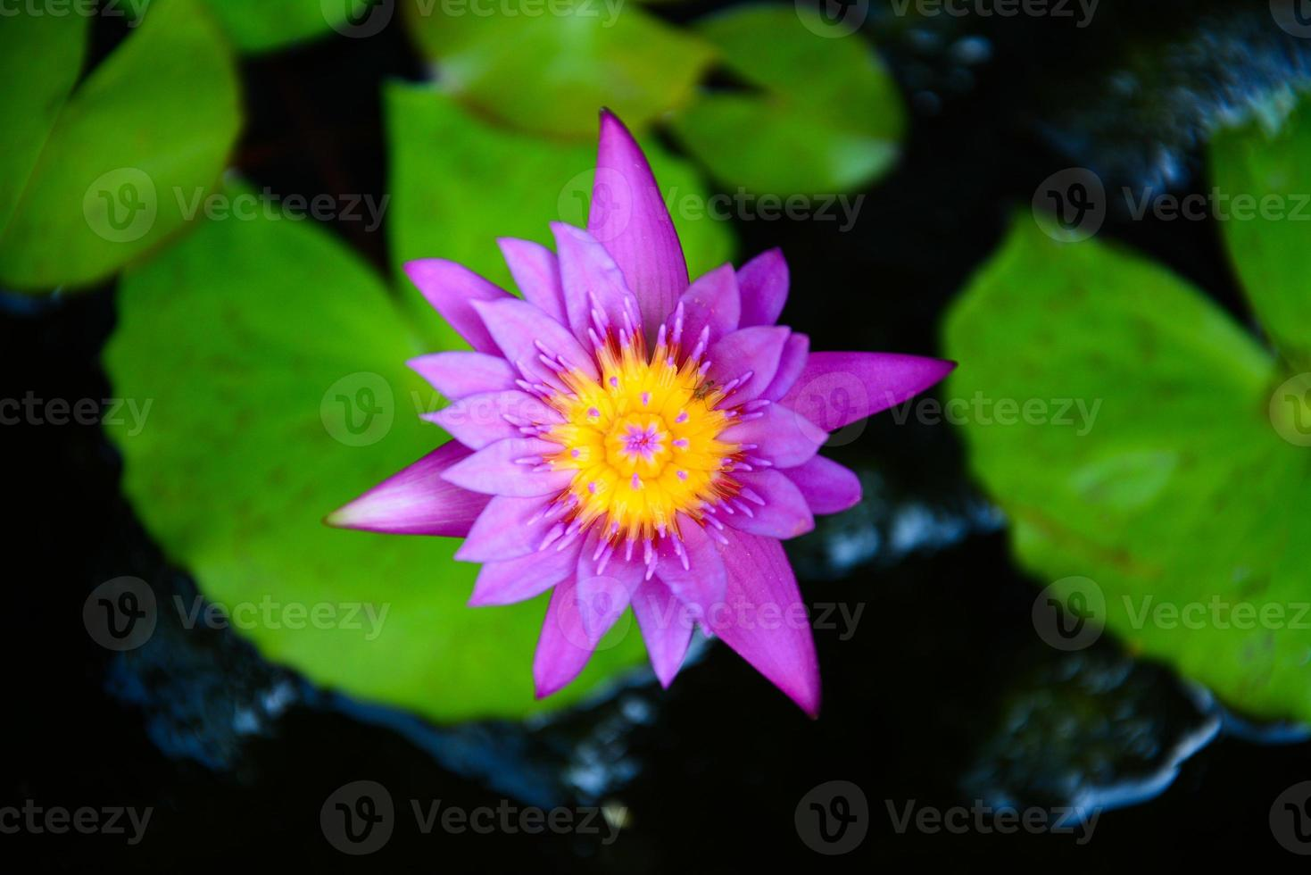 lila lotus i dammen foto