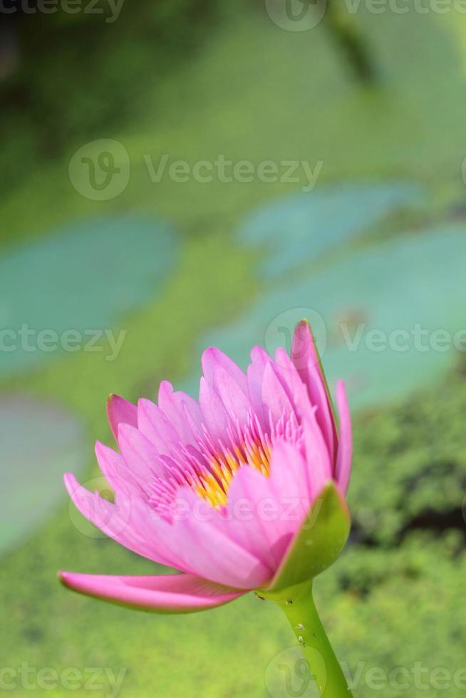 lotusrosa lila i naturen foto