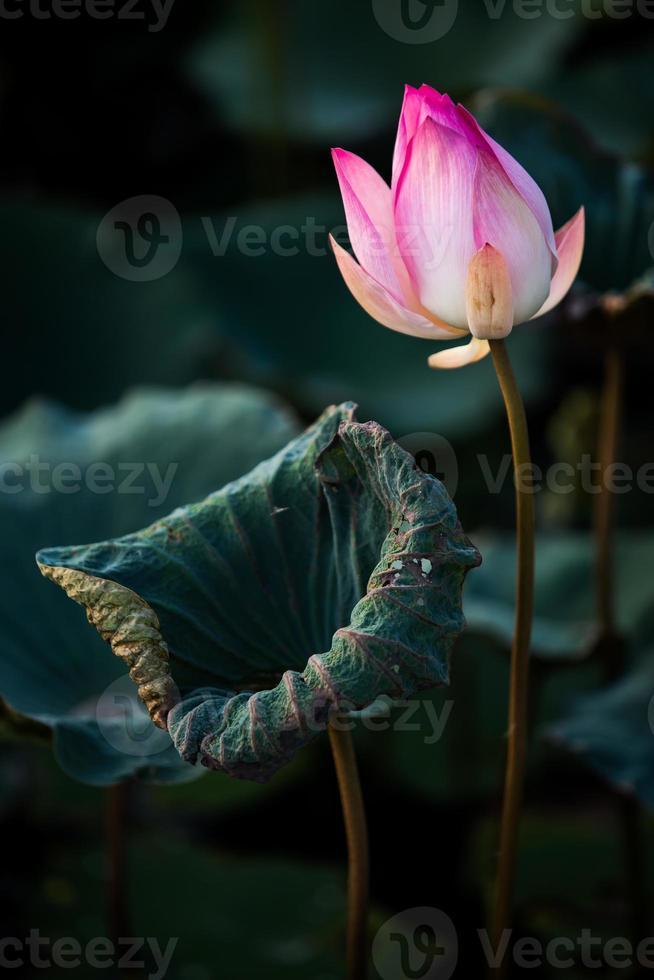 vacker lotusblomma foto