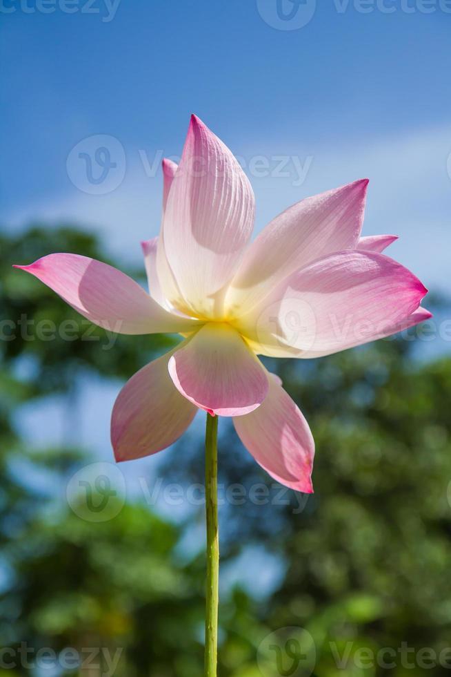 rosa lotusblomma foto