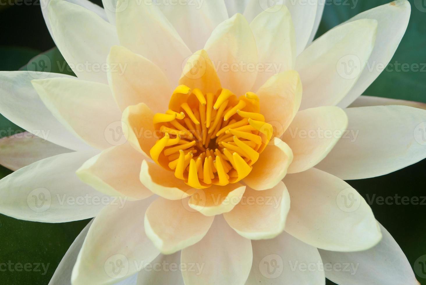 närbild gul lotusblomma vacker lotus. foto