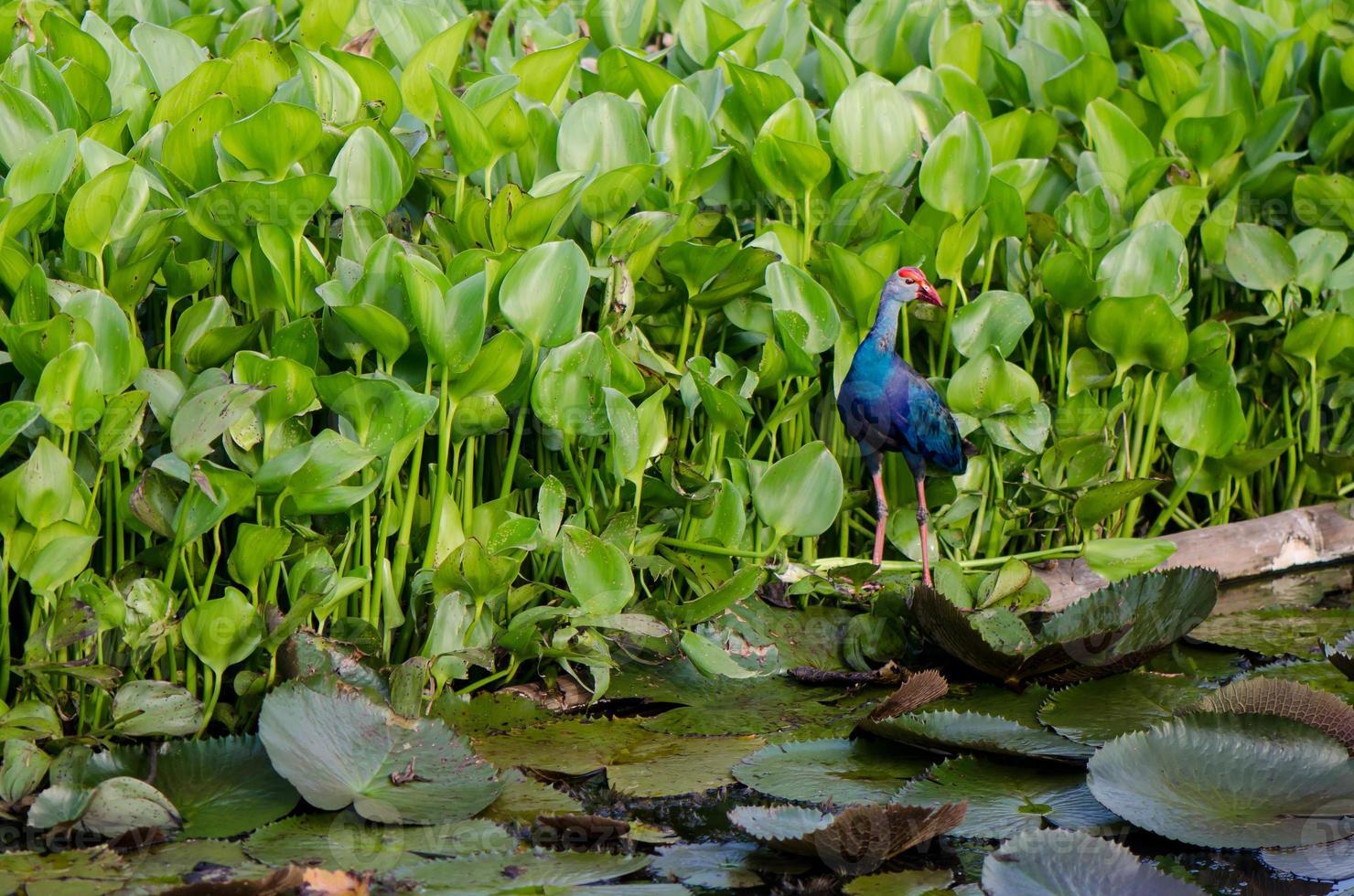 färgrik fågel som går på lotusbladet foto