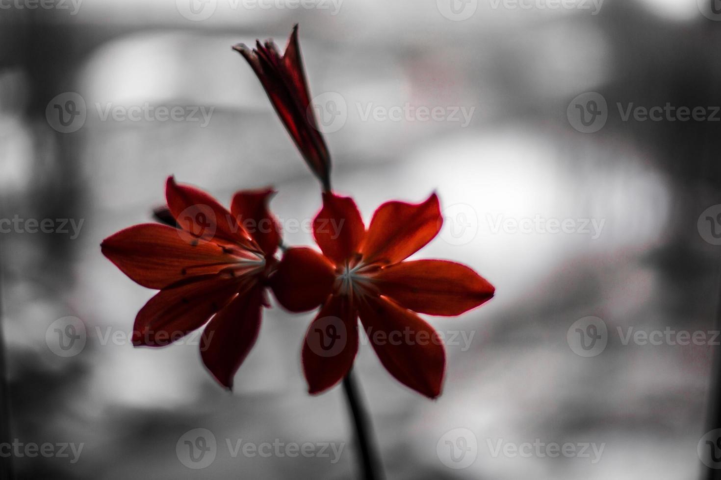 röd lilja foto