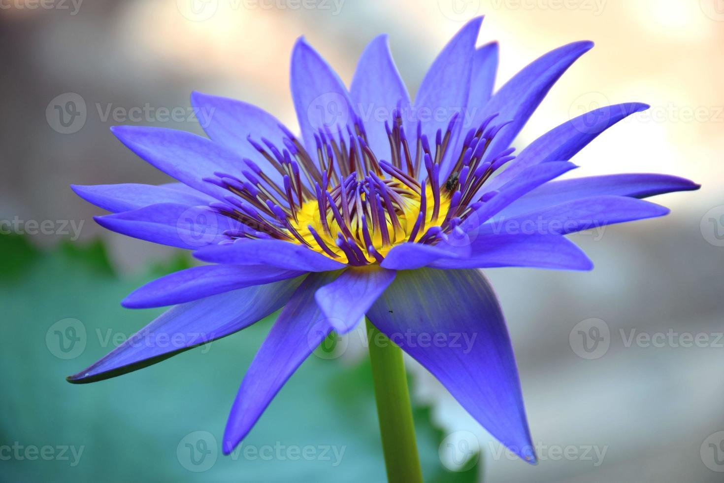 den lila lotusblomman på morgonen. foto