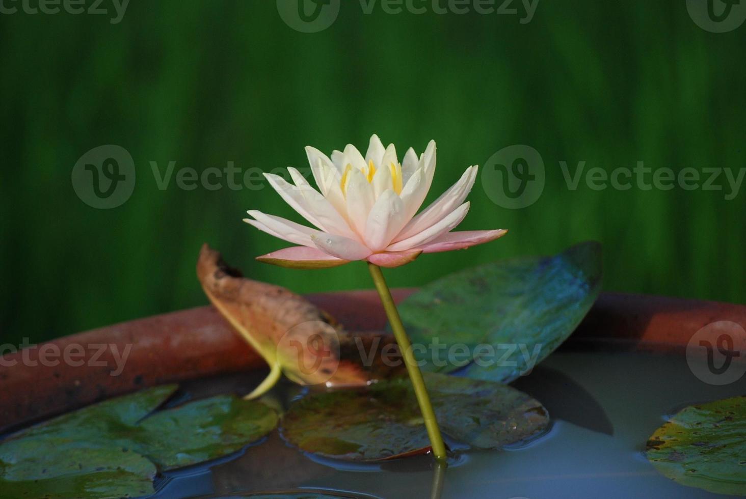 rosa gul lotus i en skida foto