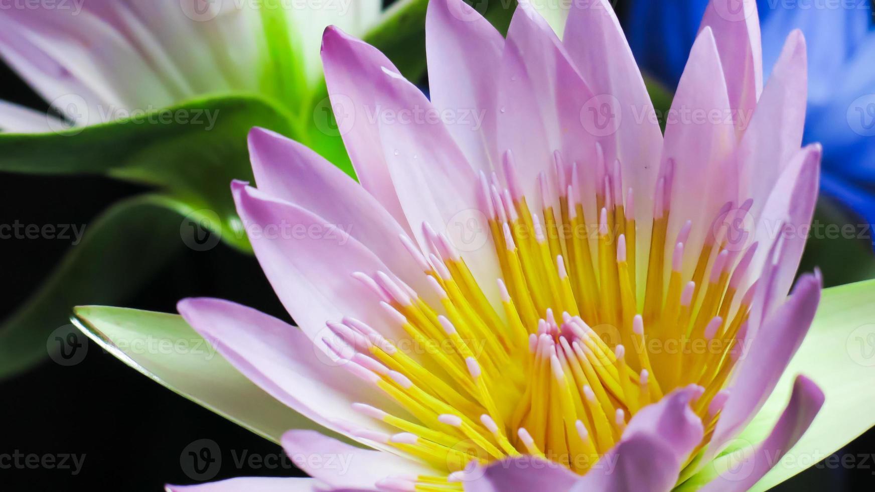 lotus på mörk bakgrund foto
