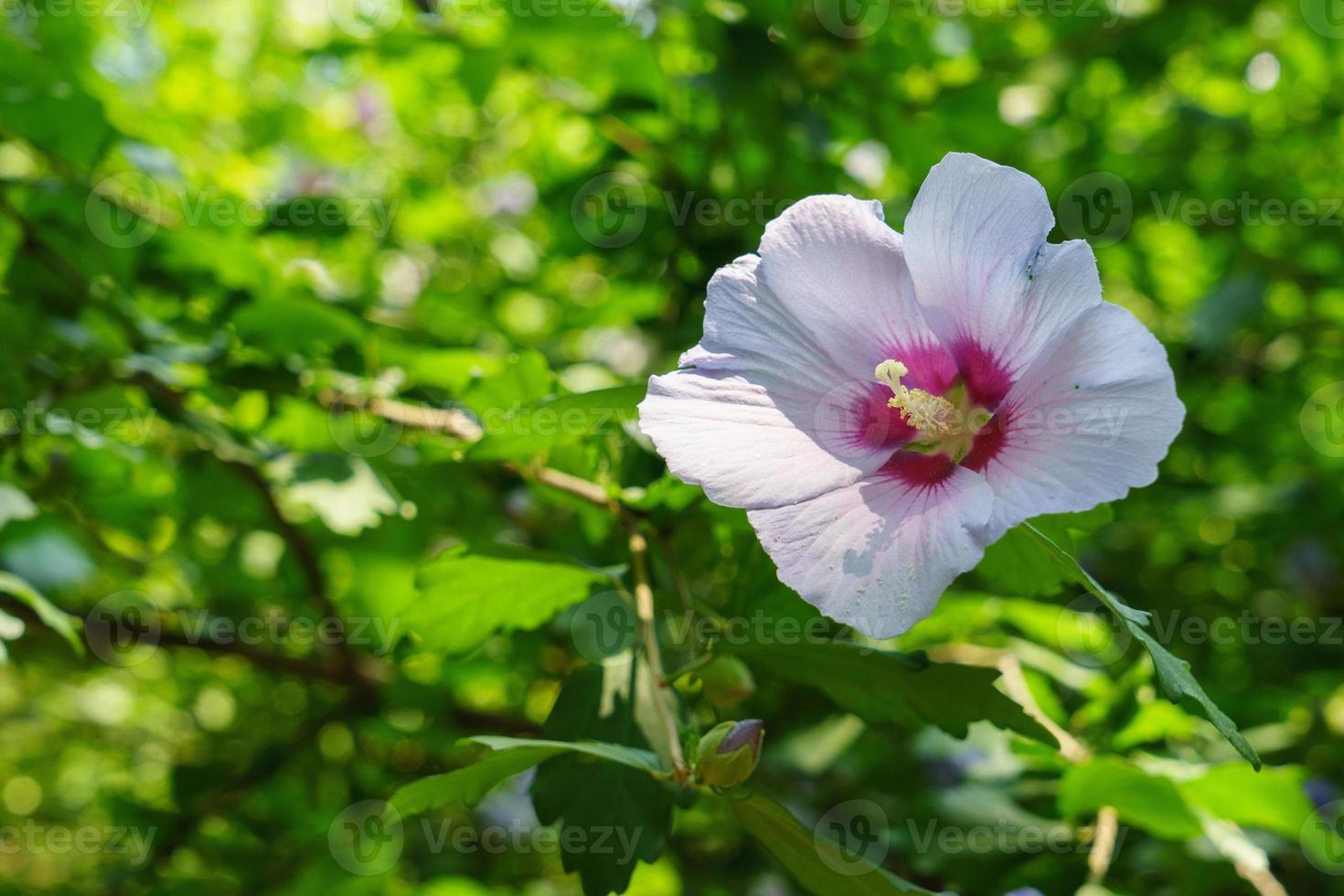 hibiskus syriacus foto