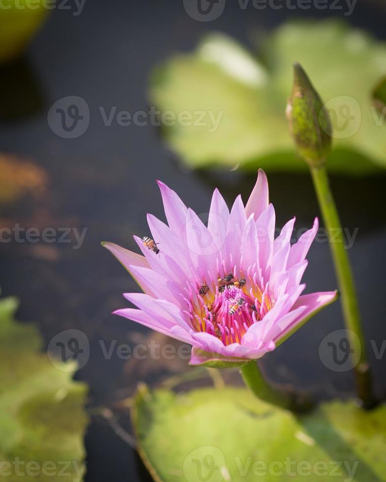 bi som samlar honung i rosa lotusblomma foto