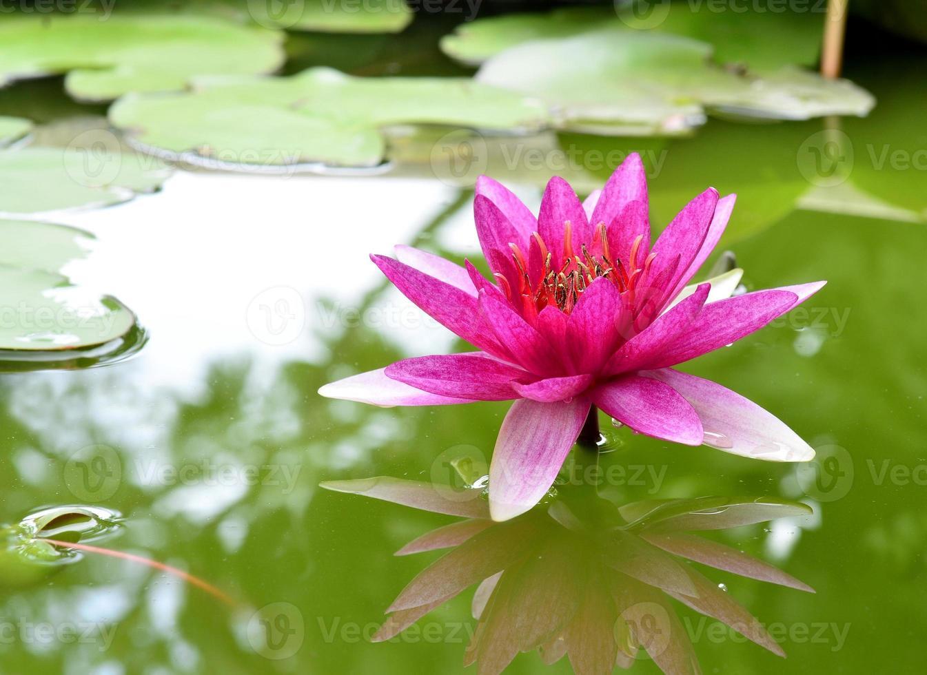 naturlig rosa lotusblomma eller vattenljus foto