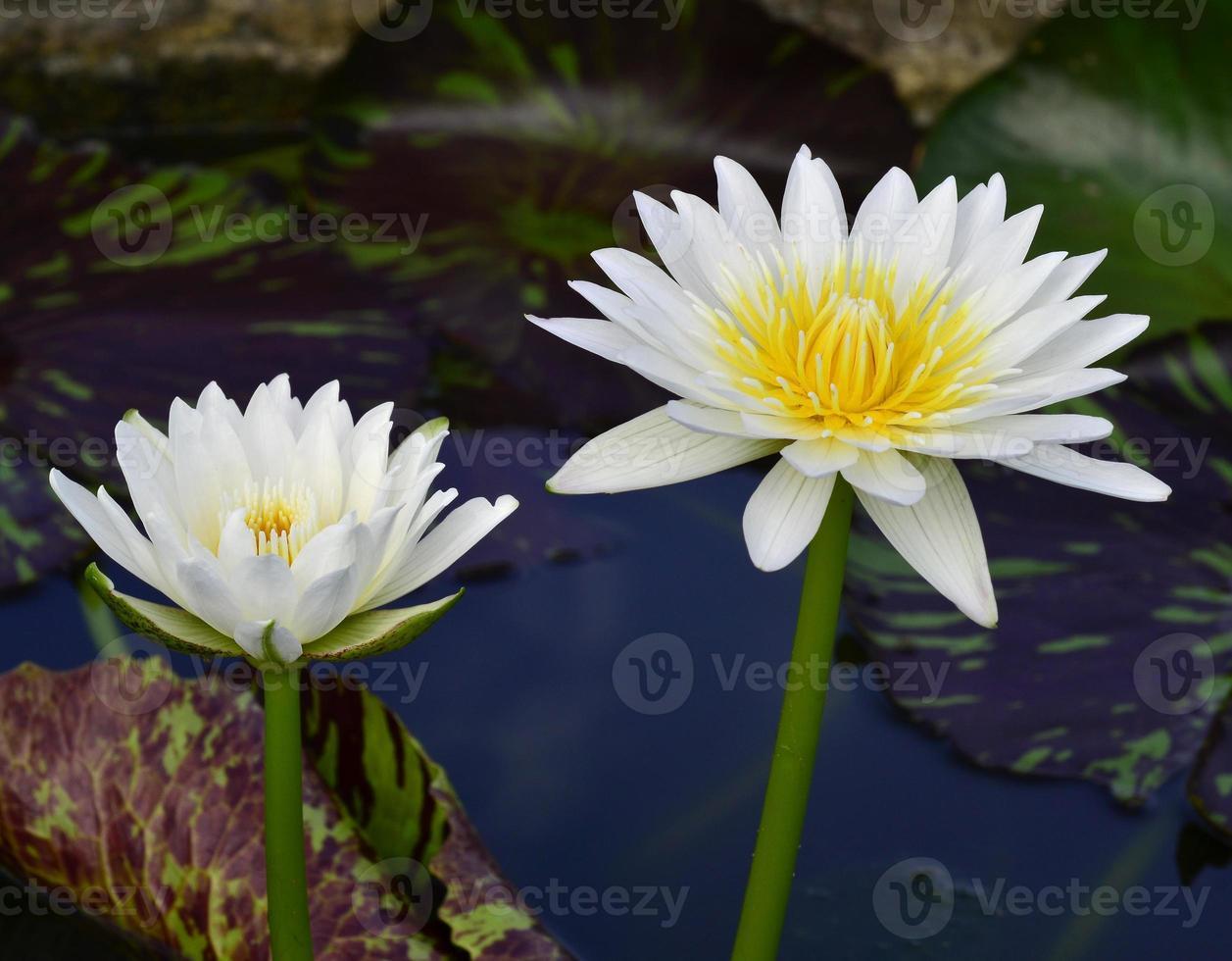 dubbel vit och gul lotusblomma eller näckros foto