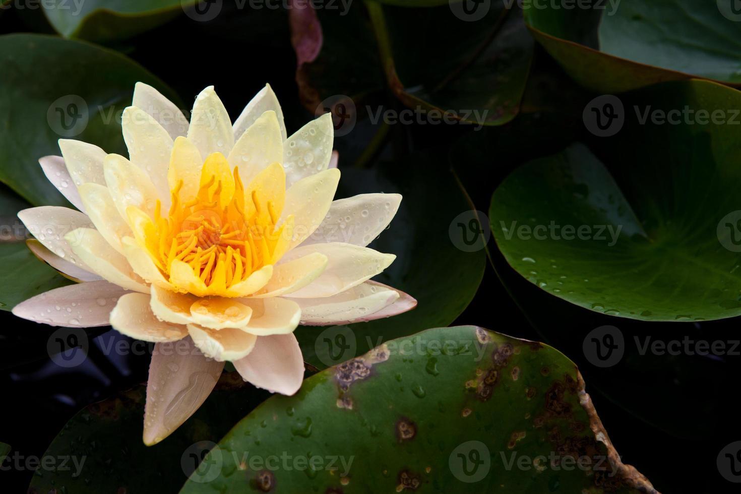 vacker blomning gul lotus med gul pollen och vattendroppe foto