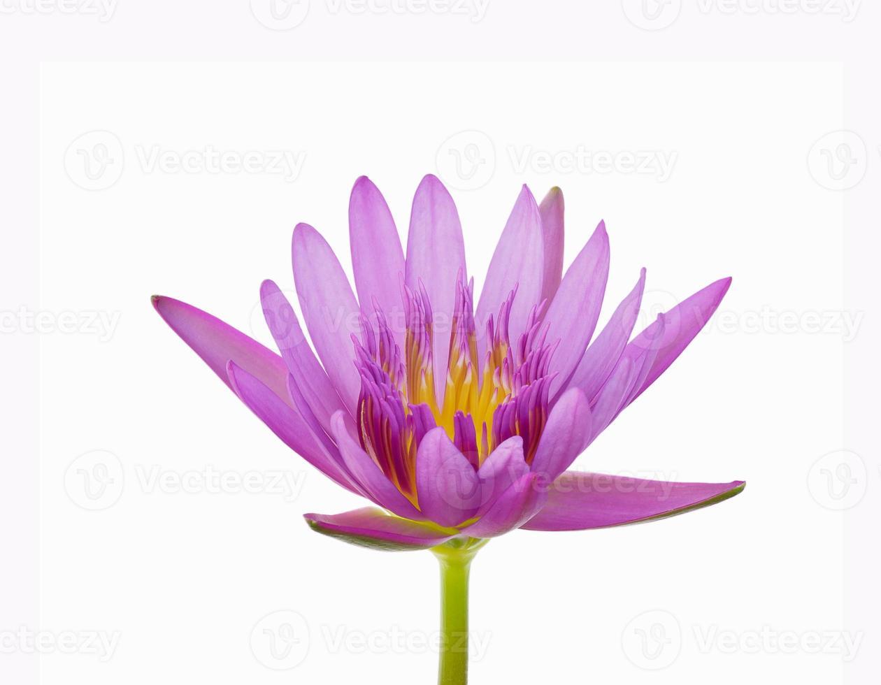 vacker rosa näckros eller lotusblommaisolat på vit bakgrund foto