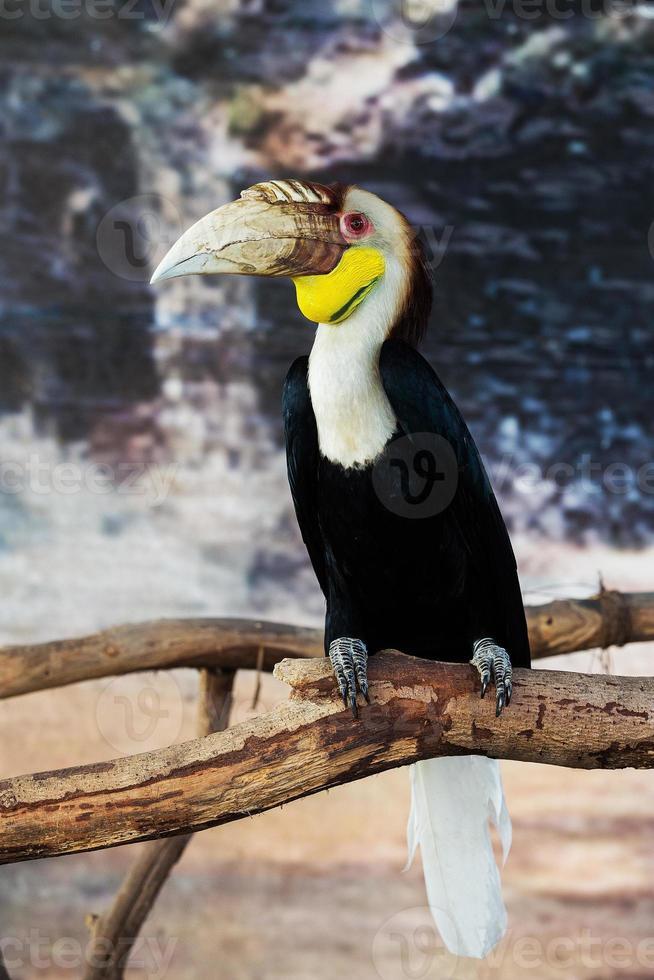 kransad hornbill (aceros undulatus), bali - indonesien foto