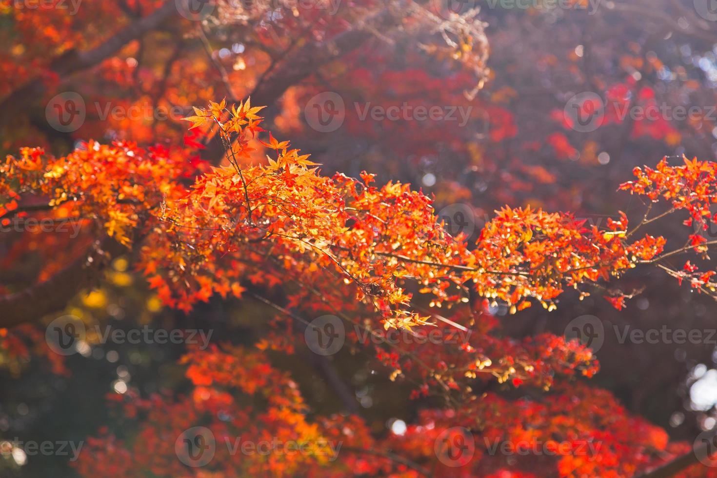 japanska lönnlöv på hösten foto