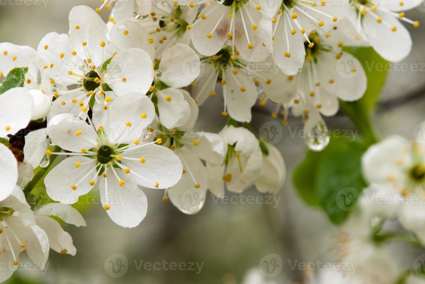 damson blommor foto