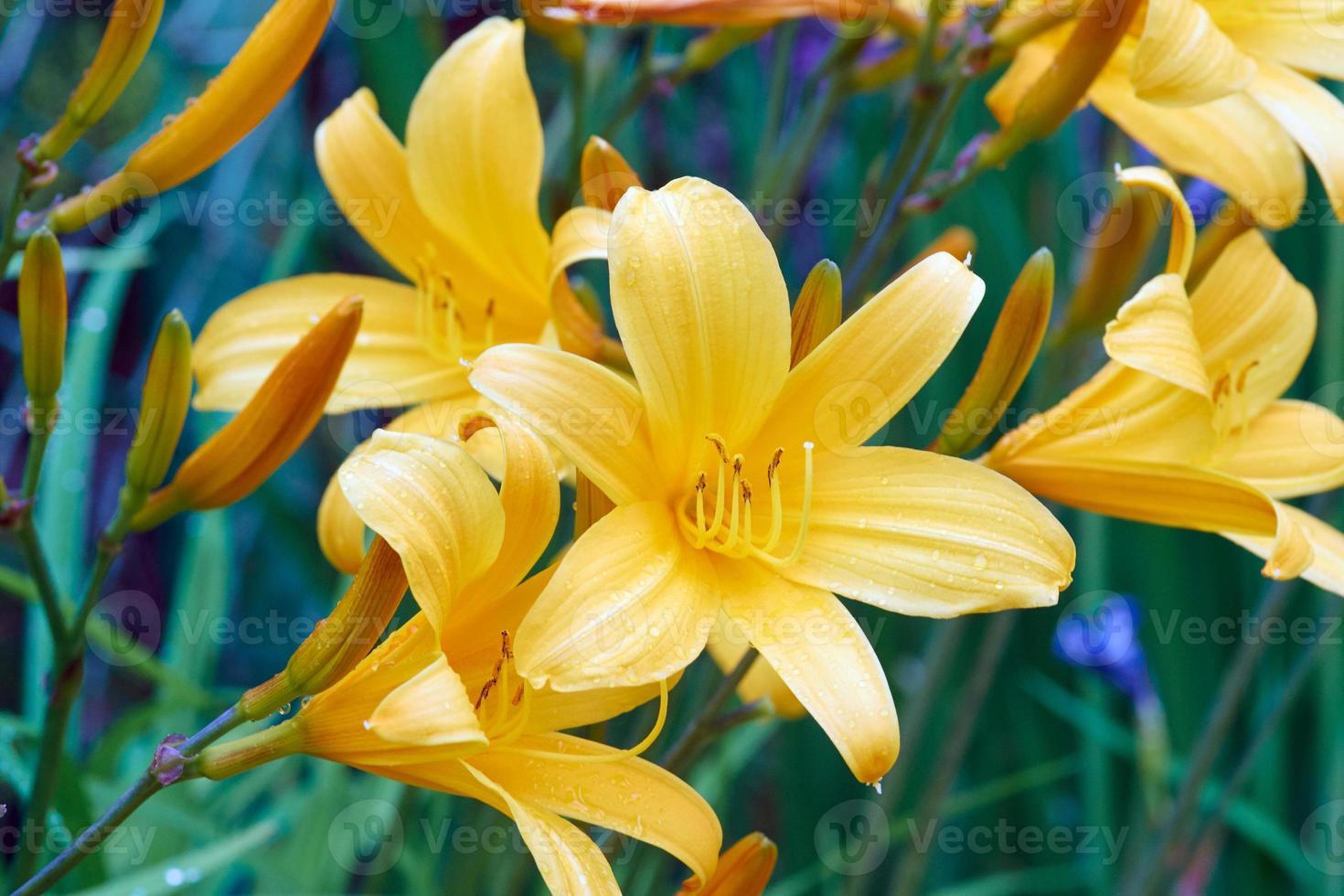 gul lilja blomma foto