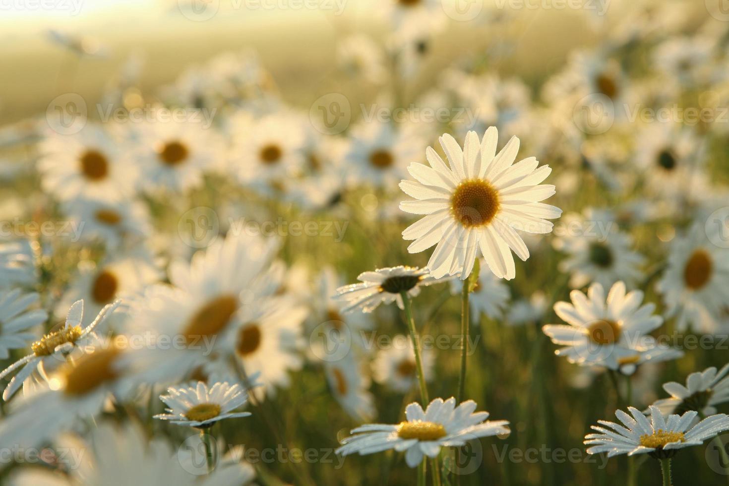 daisy foto