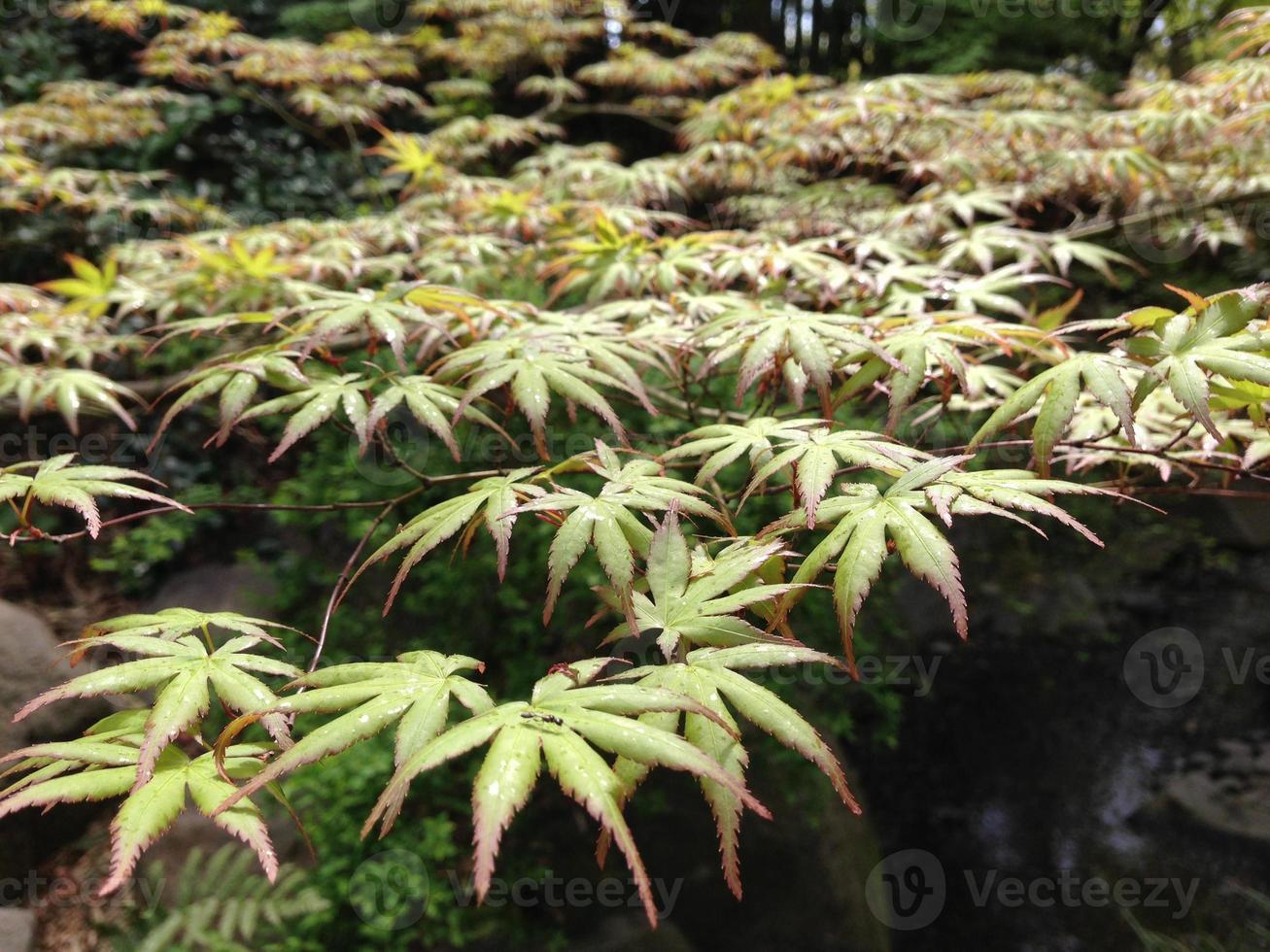 gröna lönnlöv foto