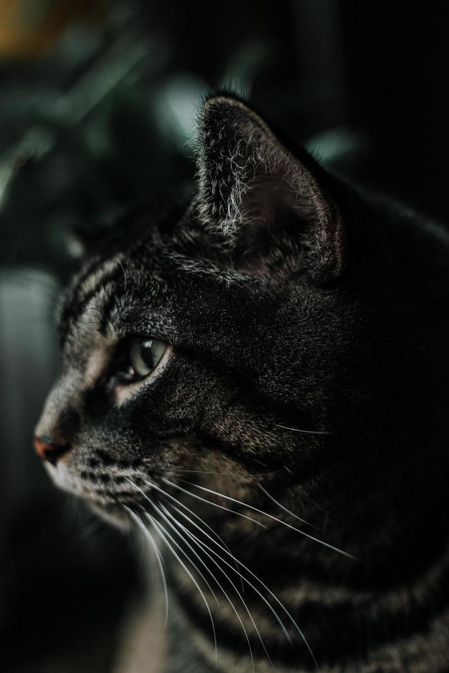 sidoprofil av en svart och grå katt foto