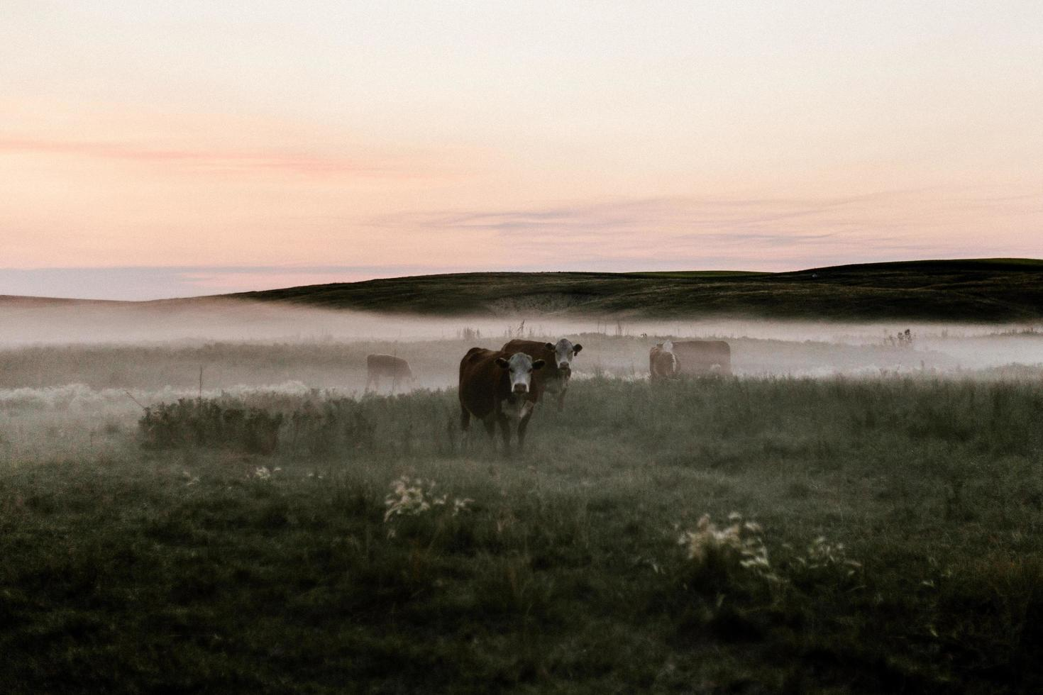 svarta kor som betar på grönt gräs foto