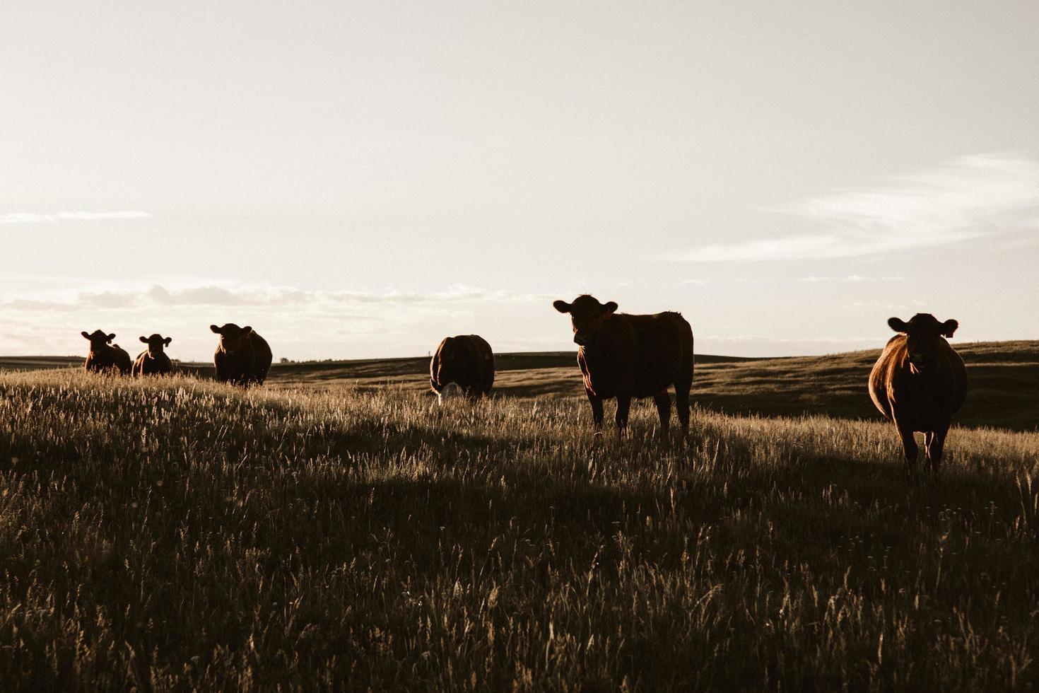 flock kor som betar på gräsmark foto