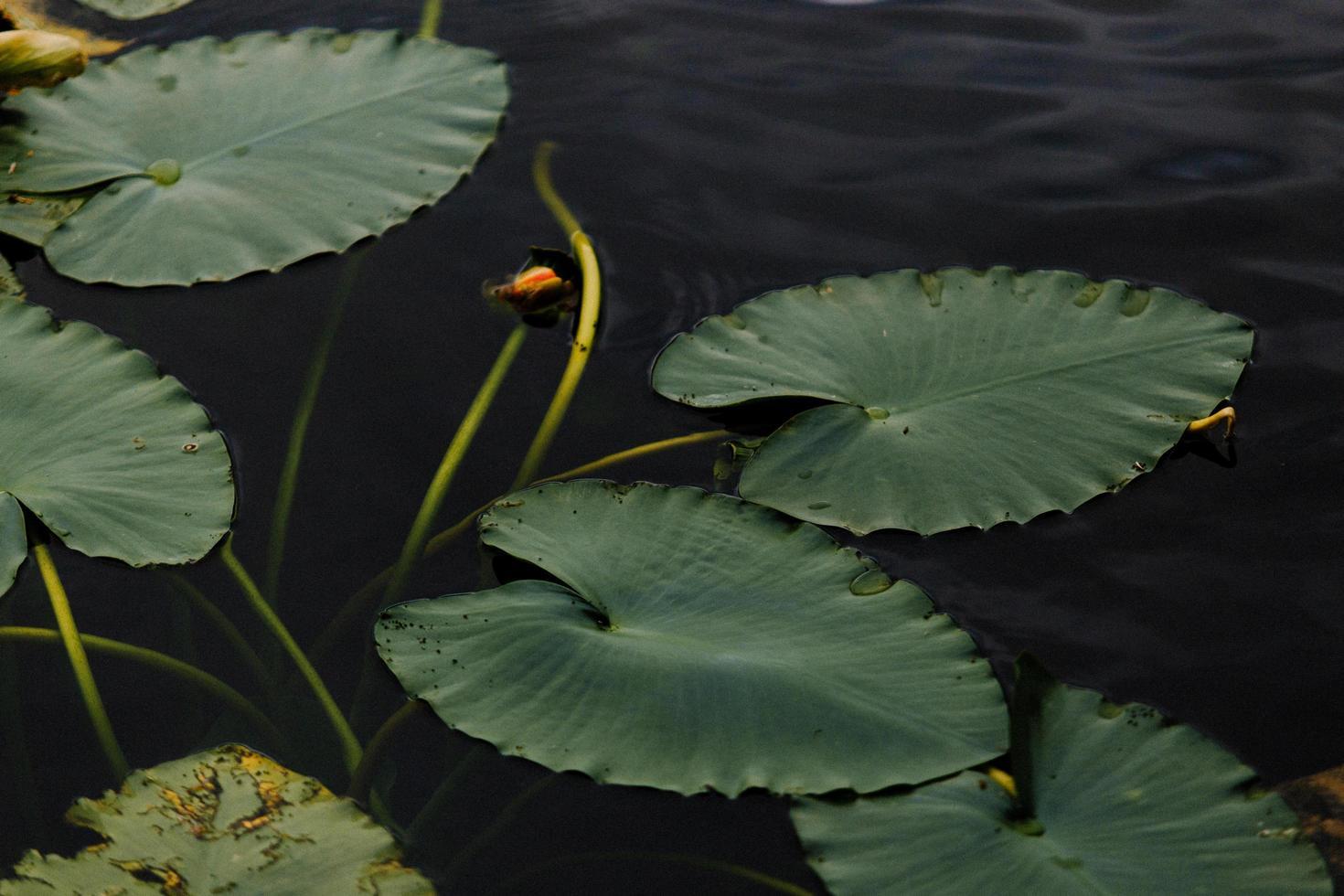 närbild av gröna liljekapslar foto