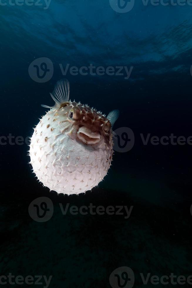 gulspottad burrfish som använder sitt försvarssystem. foto