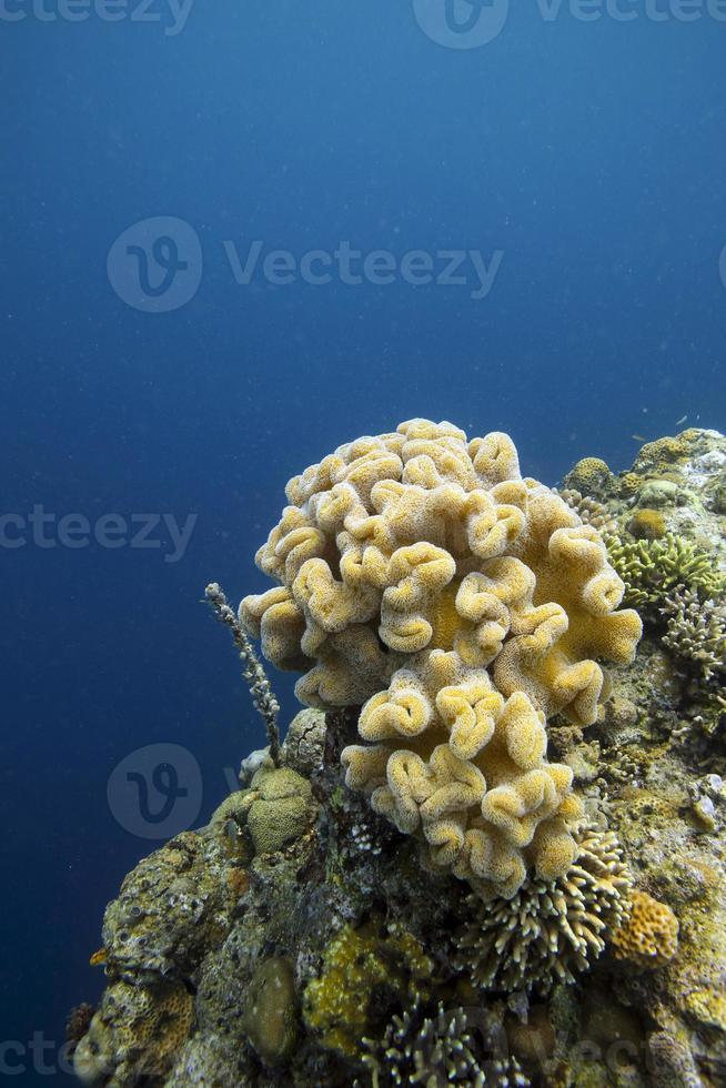 mjuka koraller i raja ampat foto