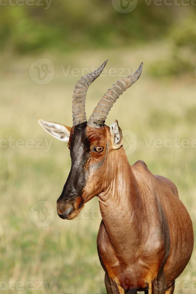 stängning titta på en vacker topi antilop foto