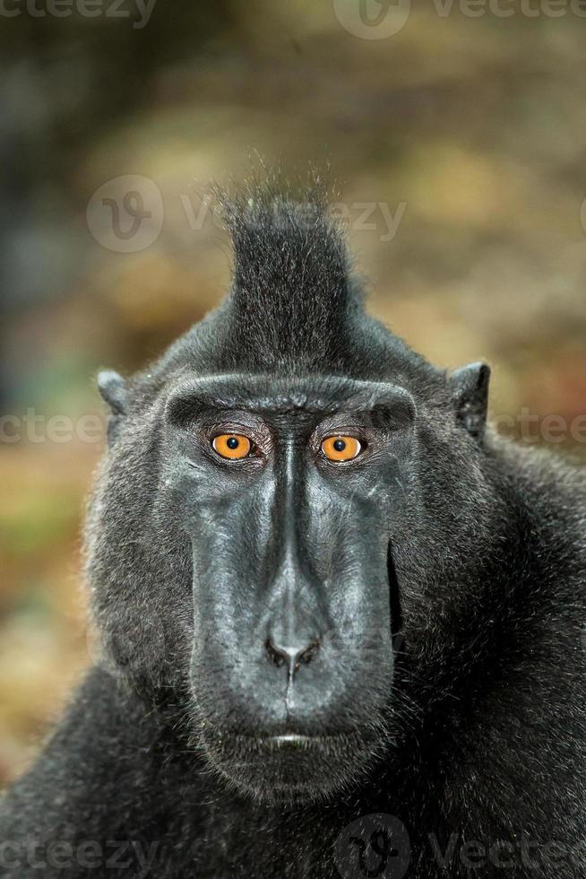 porträtt av kändisar crested macaque, sulawesi, indonesia foto