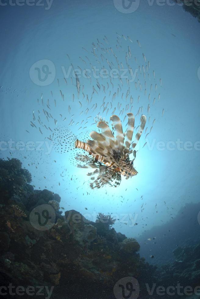 vanlig lejonfisk under fiskfisk foto