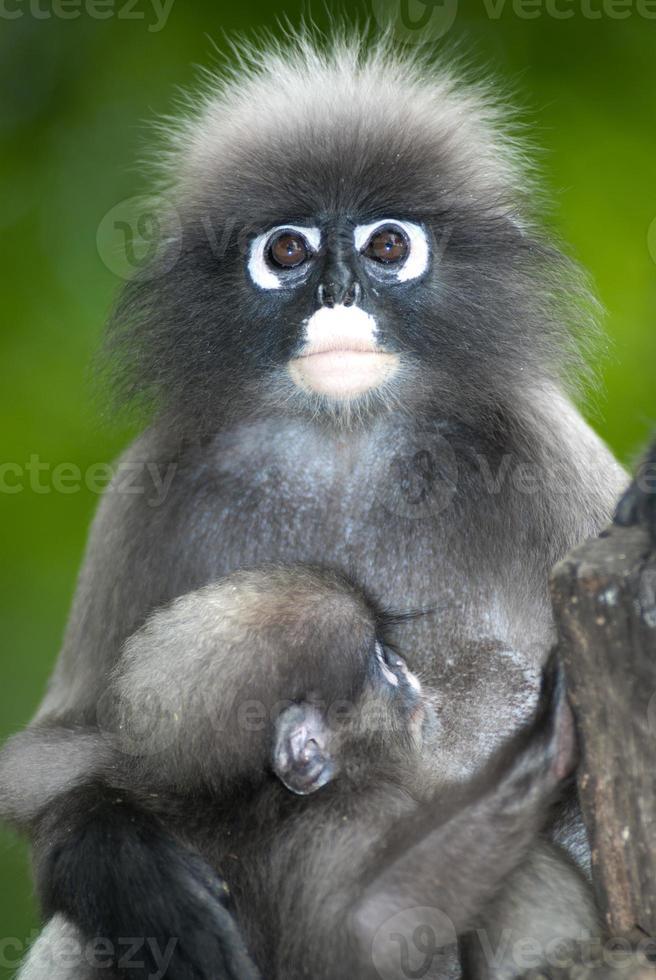 apa mor och son (presbytis obscura reid). foto