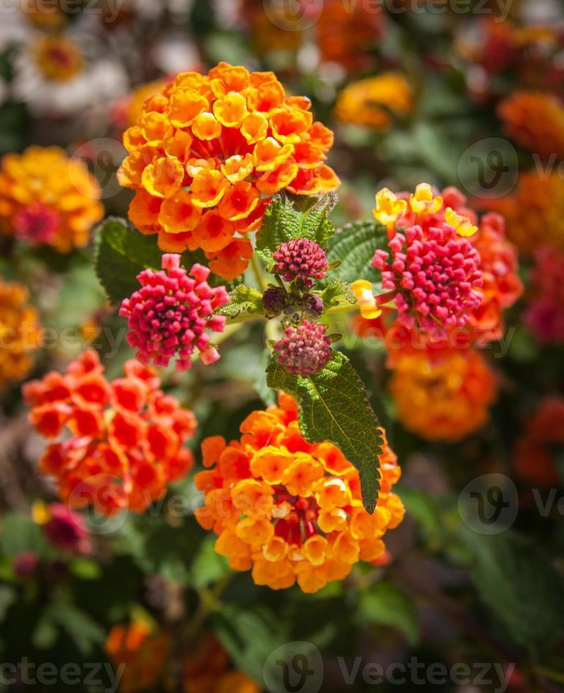 tropiska blommor, andalusien, Spanien foto