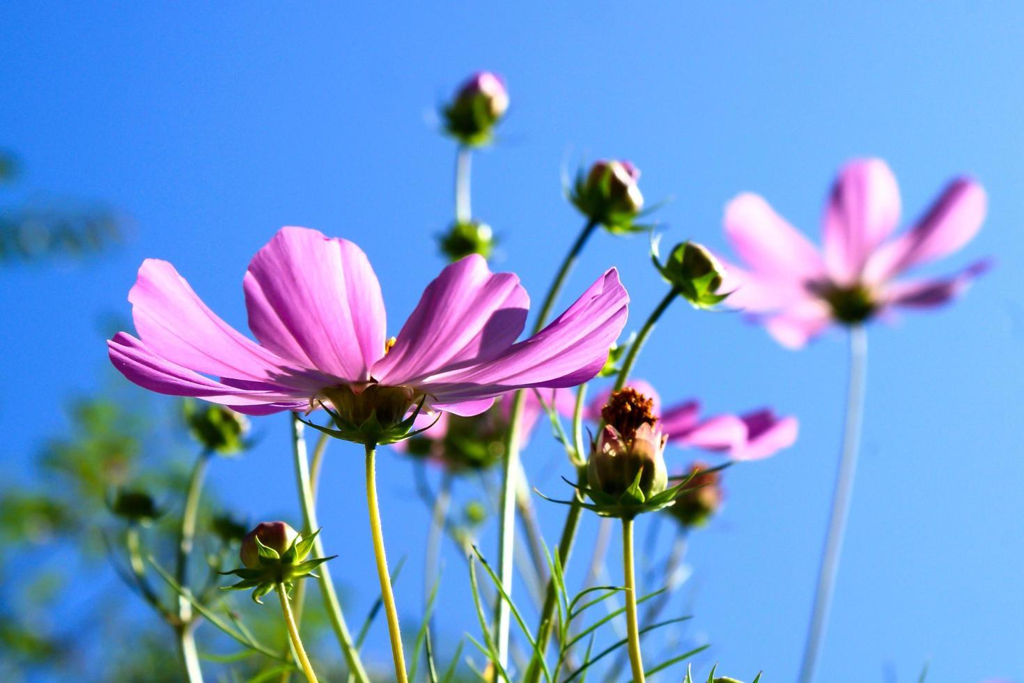 rosa vårblommor foto