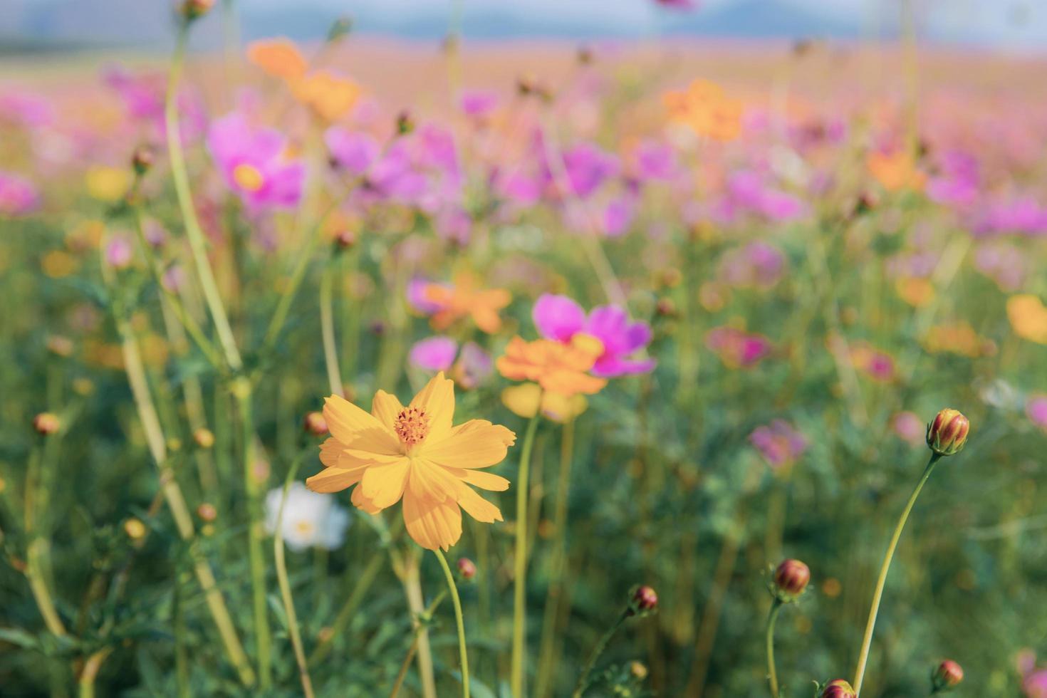 kosmos blomma och färgglada fält foto