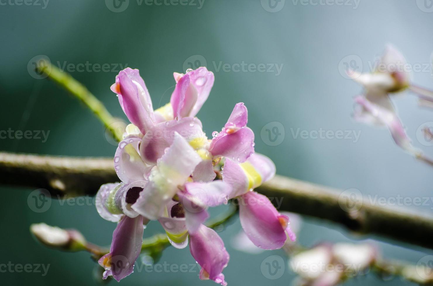 blomma madre de cacao foto