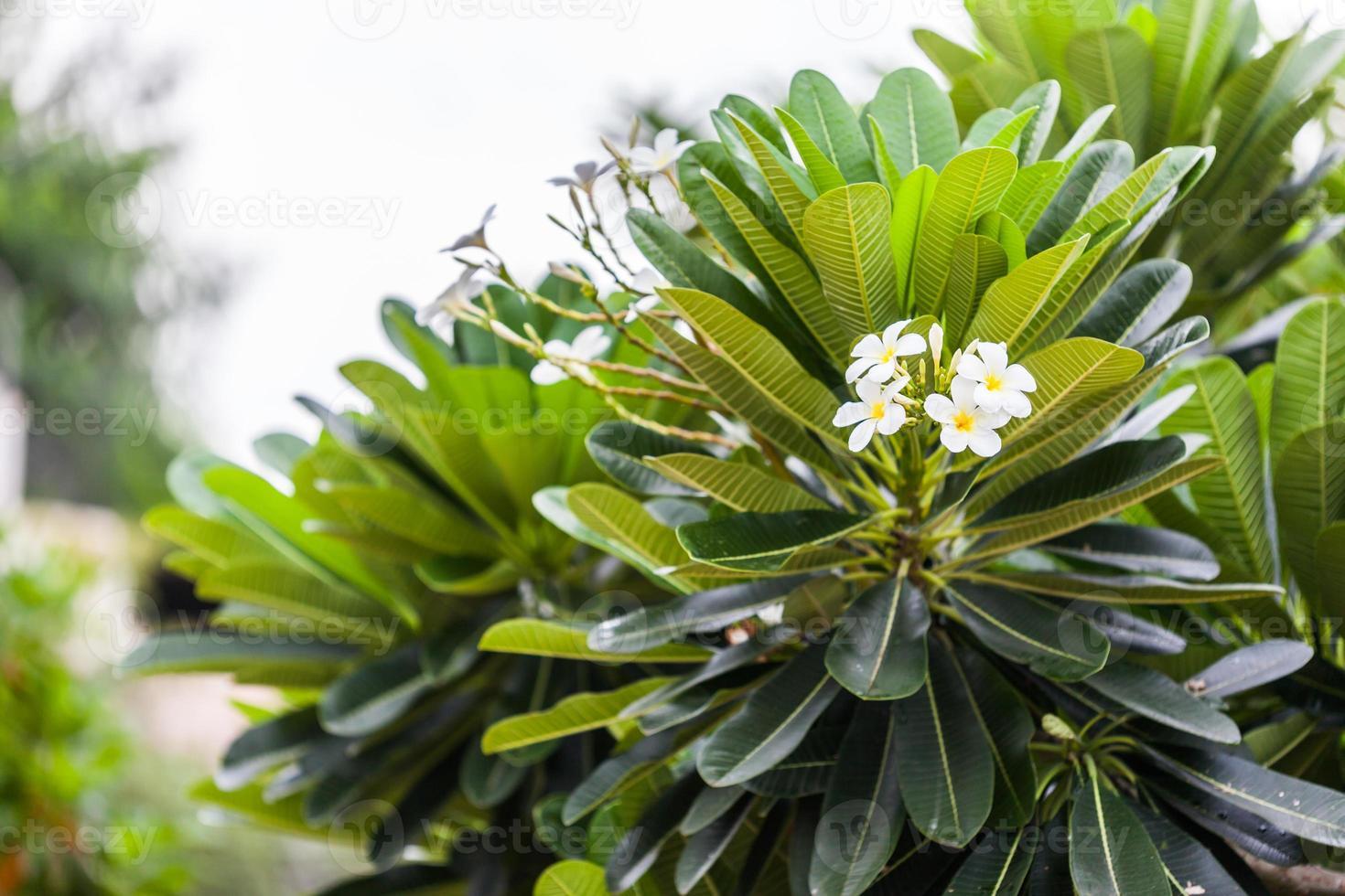 plumeria (frangipani) blommor på träd foto