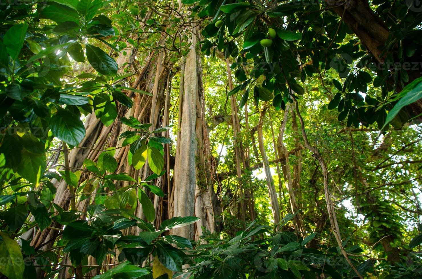 tropiskt banyanträd foto