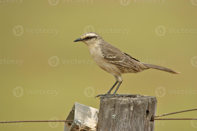 krita-brown mockingbird, mimus saturninus foto