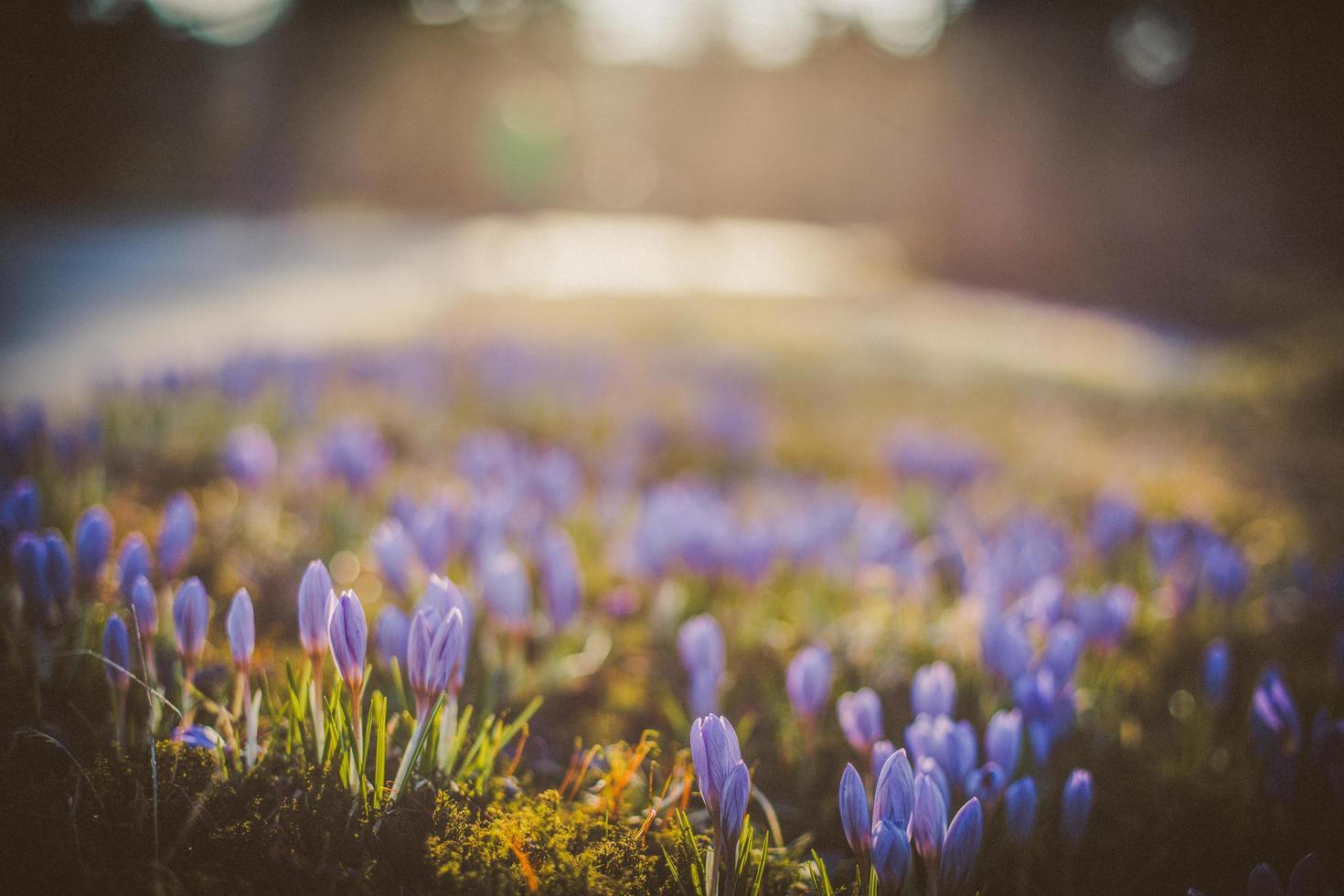 lila blommafält foto