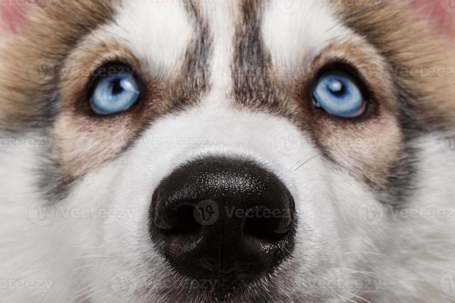närbild blå ögon siberian husky valp foto
