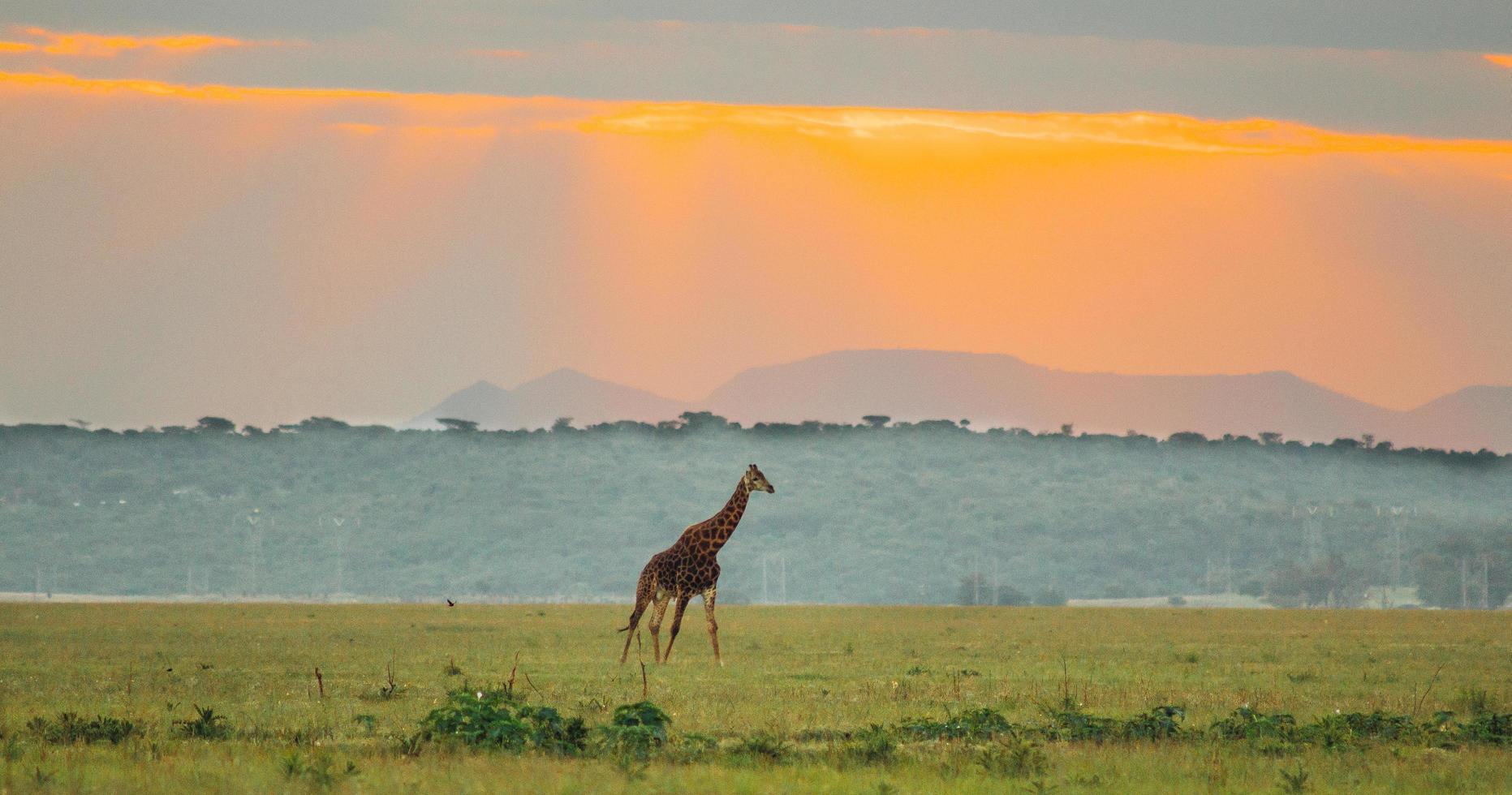 giraff i fjärran vid solnedgången foto