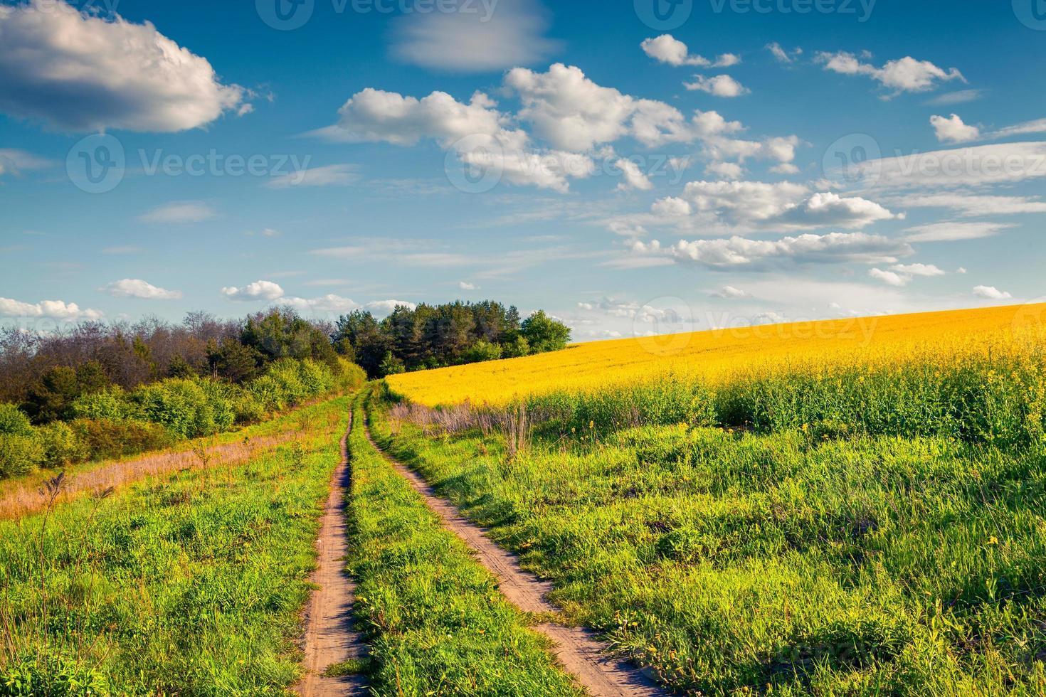 solig sommarmorgon i fältet av blommande raps foto