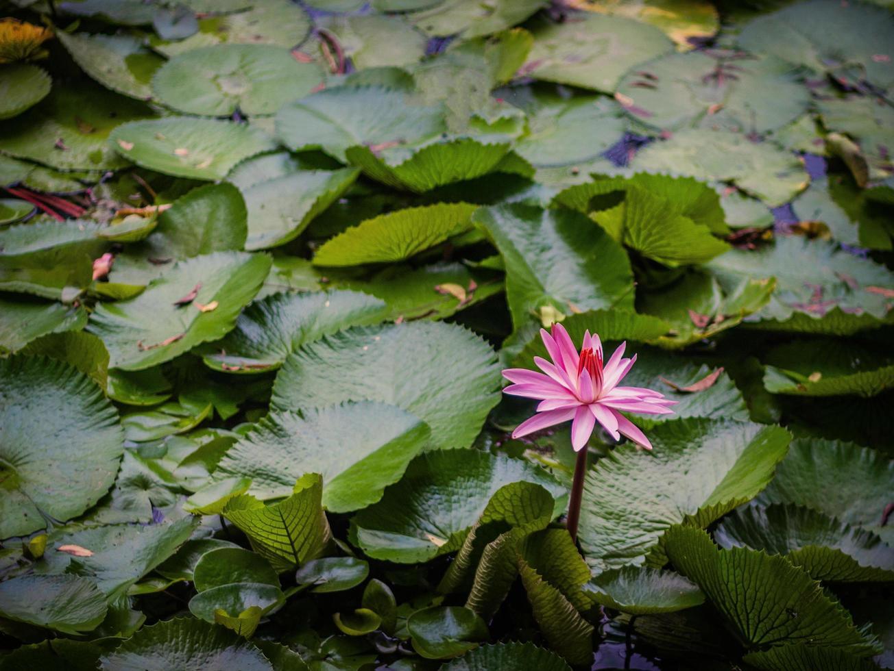 rosa lotusblomma under dagtid foto